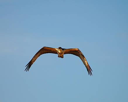 Clayton Bruster - Bird of Prey