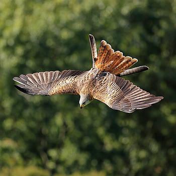Bird of prey diving by Grant Glendinning