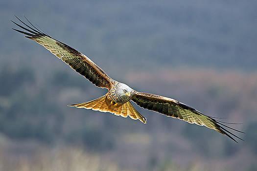 Bird of Prey by Grant Glendinning