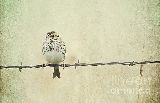 Bird on Barbed Wire by Pam  Holdsworth