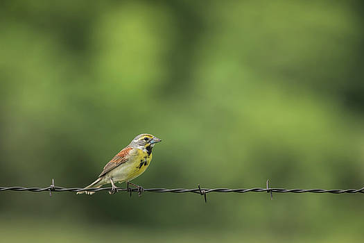 Bird on Barbed Wire by Scott Bean
