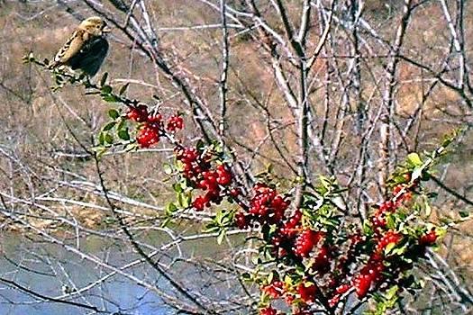 Bird on  Bush by Scarlett Chambers