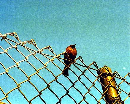 Karin Kohlmeier - Bird on Fence