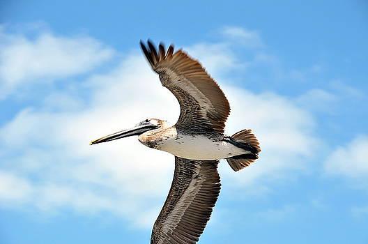 Bird- Pelican by Jerry Frishman