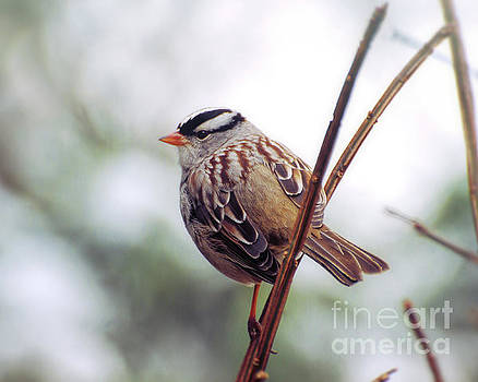 Bird Portrait - White-crowned Sparrow by Kerri Farley
