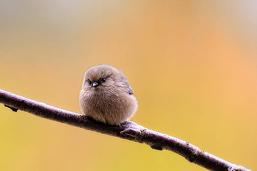 Paul W Sharpe Aka Wizard of Wonders - Birds of BC - Bushtit - Psaltriparus minimus