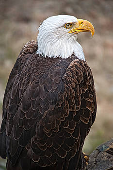 Paul W Sharpe Aka Wizard of Wonders - Birds of BC - No.2 - Bald Eagle - Haliaeetus leucocephalus
