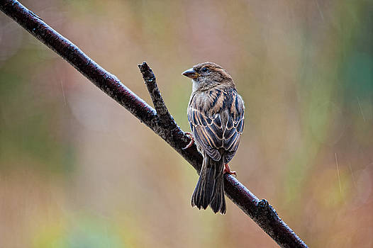 Paul W Sharpe Aka Wizard of Wonders - Birds of BC - No.5 - Sparrow in the rain