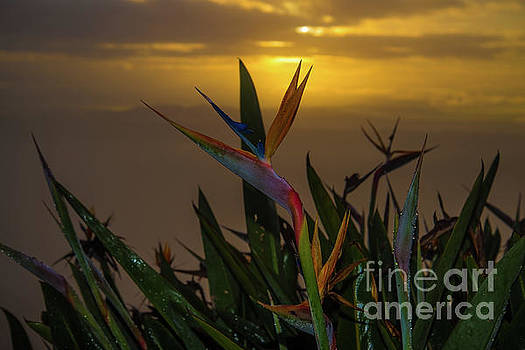 Birds of Paradise by Gregory Schaffer