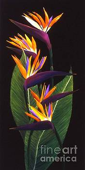 Mary Erbert - Birds of Paradise