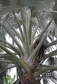 Bismark Palm by Dodie Ulery