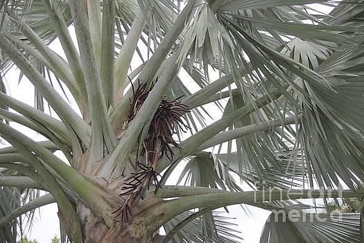 Bismark Palm Horizontal by Dodie Ulery