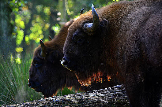 Spade Photo - Bison brothers