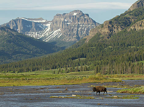 Max Waugh - Bison Crossing Soda Butte Creek