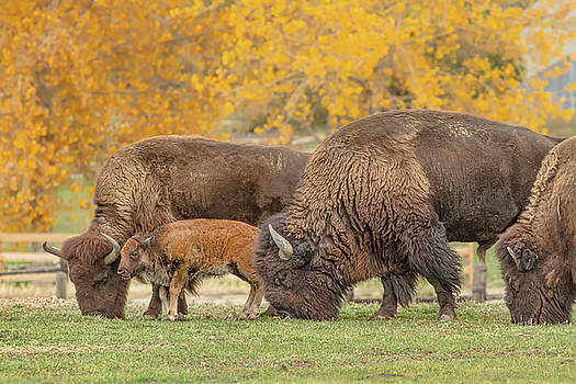 Bison Family Nation by James BO Insogna