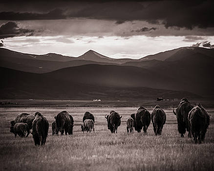 Chris Bordeleau - Bison Herd into the sunset - BW