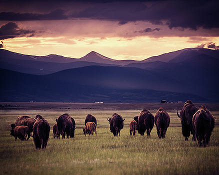 Chris Bordeleau - Bison Herd into the sunset