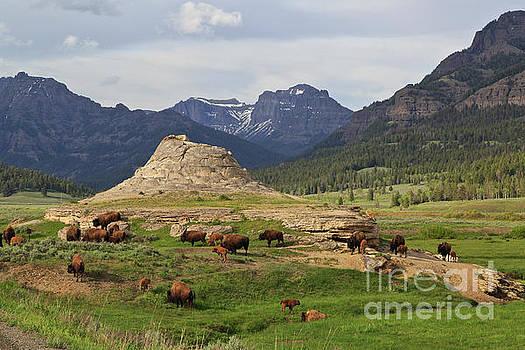 Bison herd by Tim Hauf
