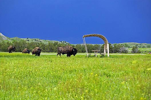 Bison in the Badlands by Kristen Vota