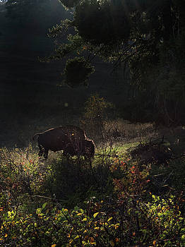 Bison in the Brush by Roy Nierdieck