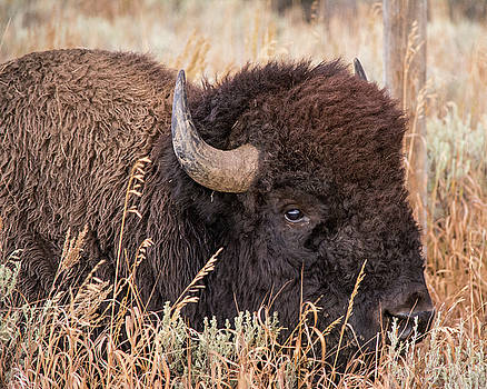 Bison in the Grass by Mary Hone