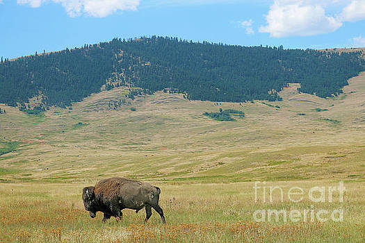 Bison in the National Bison Range by Jason Kolenda