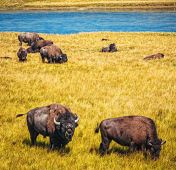 Bison in the valley by Prashant Thumma