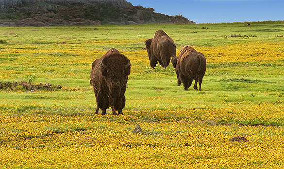 Bison in wildflowers by Katherine Worley