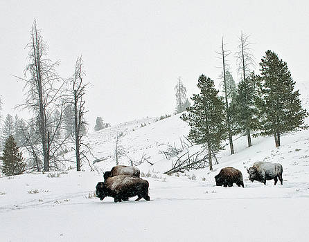 Bison in Winter by Roy Nierdieck