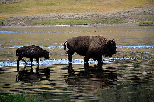Bison Mom and Calf Crossing Yellowstone River by Bruce Gourley