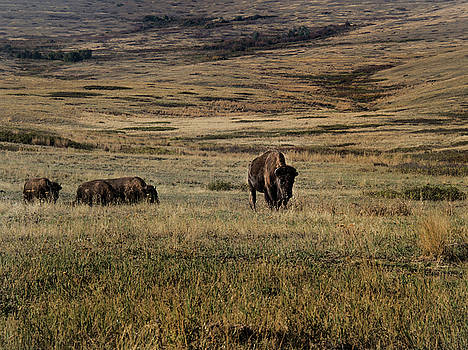 Bison on the prairie by Roy Nierdieck
