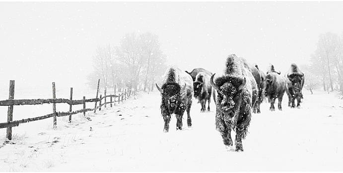 Bison on the Run by Andrea Kollo