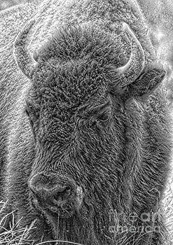 Bison  by Robert Pearson