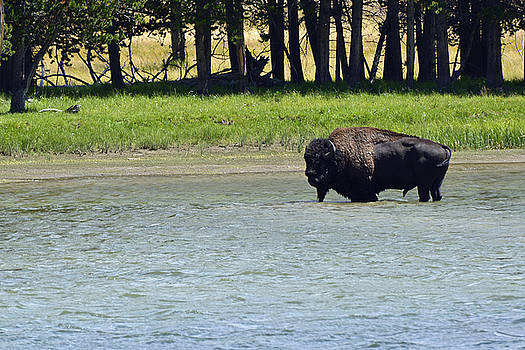 Bison Wading in Yellowstone River by Bruce Gourley