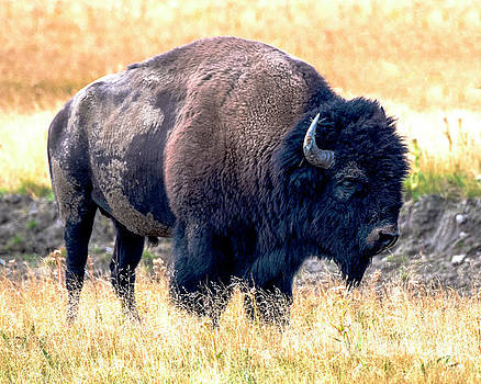 Bison Yellowstone by Steven Natanson