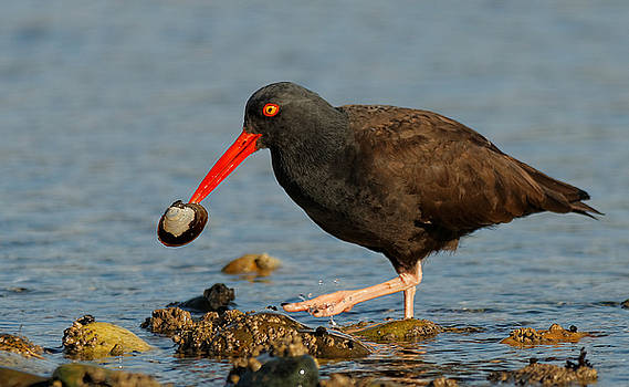 Black Oystercatcher with Clam by Hui Sim