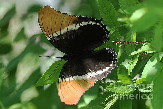 Black and Gold butterfly by Carol Bilodeau
