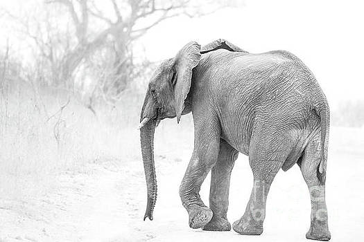 Black and White African Elephant by Petrus Bester