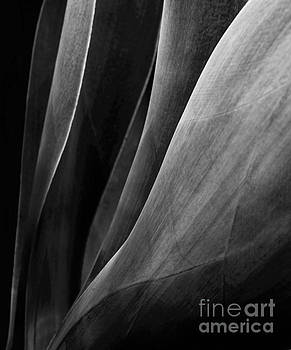 Black and White Agave 3 by Glennis Siverson