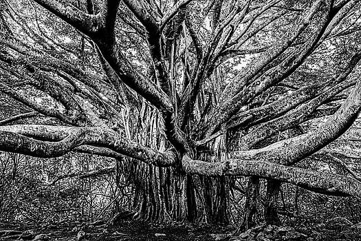 Black and White Banyan by Kelley King
