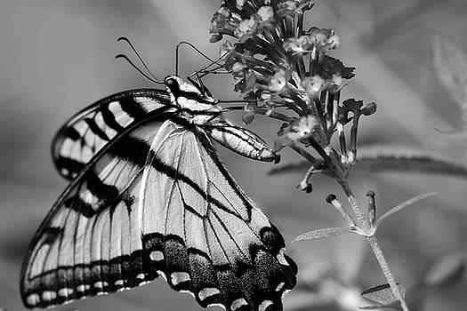 Jill Lang - Black and White Butterfly