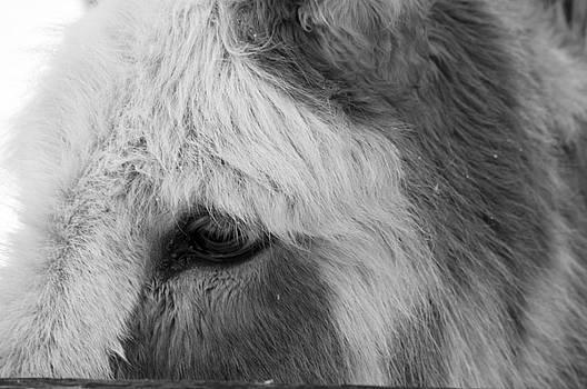 Black and White Close Up of Miniature Donkey by Samantha Boehnke