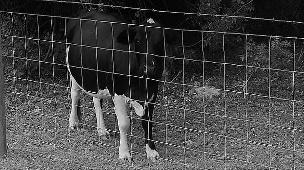 Black and White Cow by Mario Carta