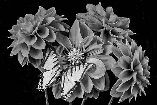 Black And White Dahlias And Butterfly by Garry Gay