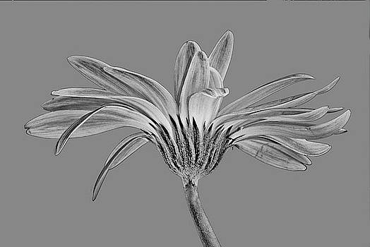 Black and White Gerbera 2 by Jan Hagan