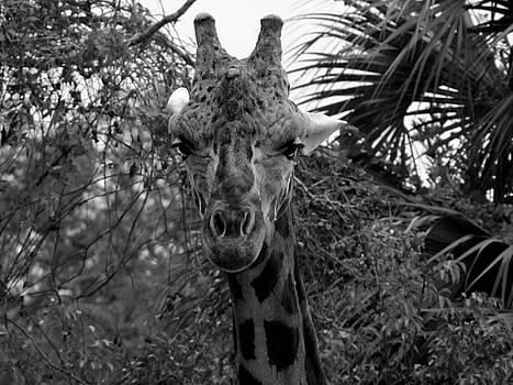 Black and White Giraffe 000  by Chris Mercer
