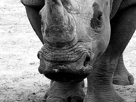 Black and White Kiss a Rhino  by Chris Mercer
