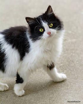LeeAnn McLaneGoetz McLaneGoetzStudioLLCcom - Black and White Kitten