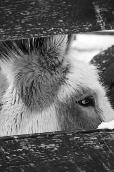 Black and White of Miniature Donkey by Samantha Boehnke