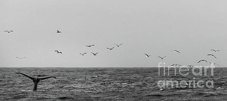 Black and White Picture of Whale Tale On Top of Water by PorqueNo Studios